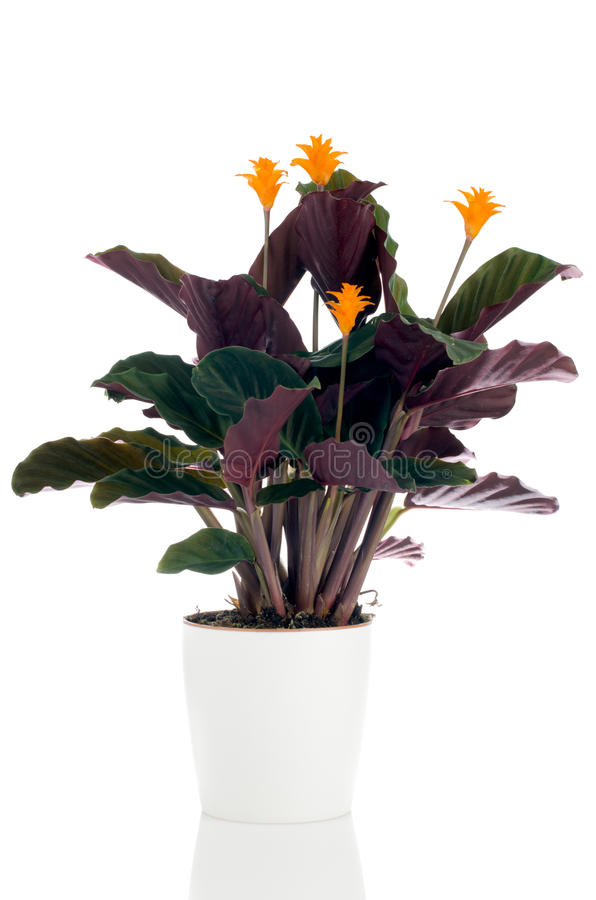 Eternal flame flower (calathea. Crocata) in white flowerpot on white background royalty free stock images