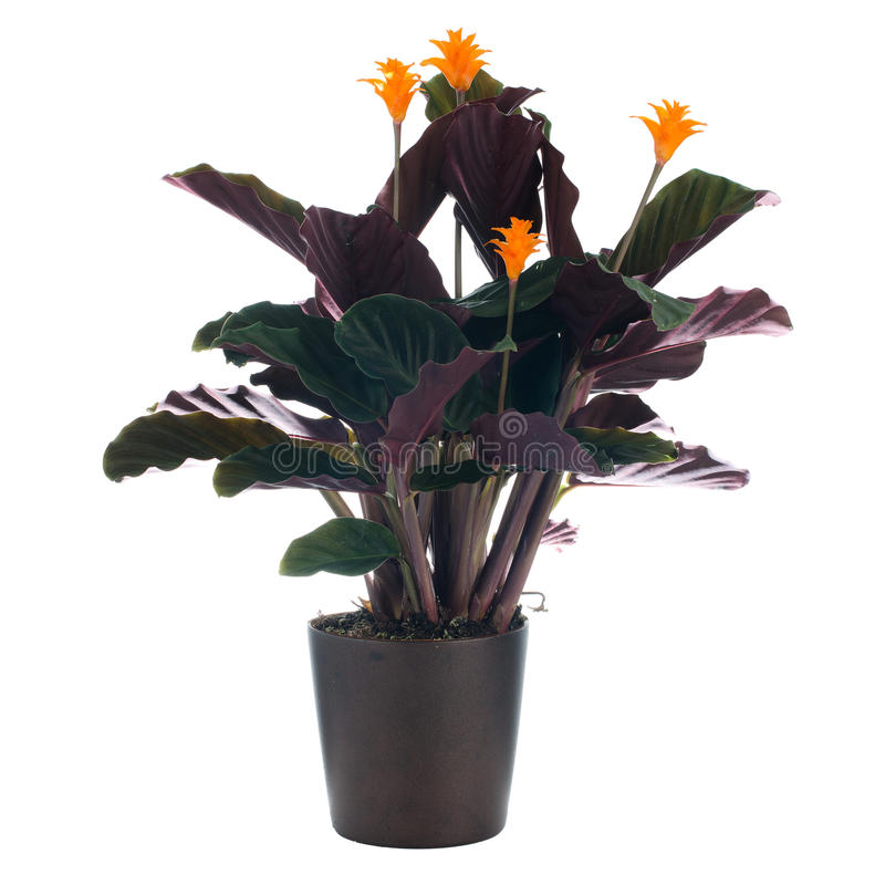 Eternal flame flower (calathea. Crocata) in dark flowerpot on white background royalty free stock images