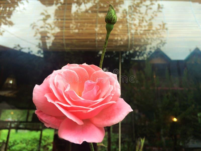 Eternal Rose royalty free stock image