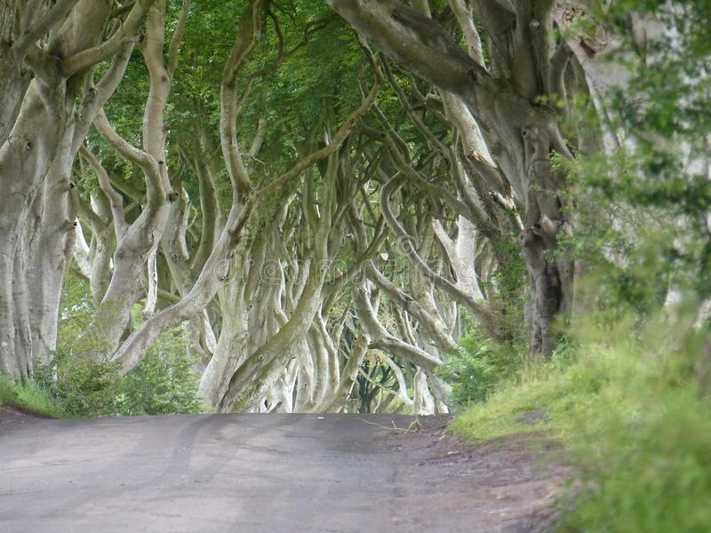 Eteryczny światło przy Ciemnymi żywopłotami jak widziane w The Game trony Irlandia obrazy royalty free