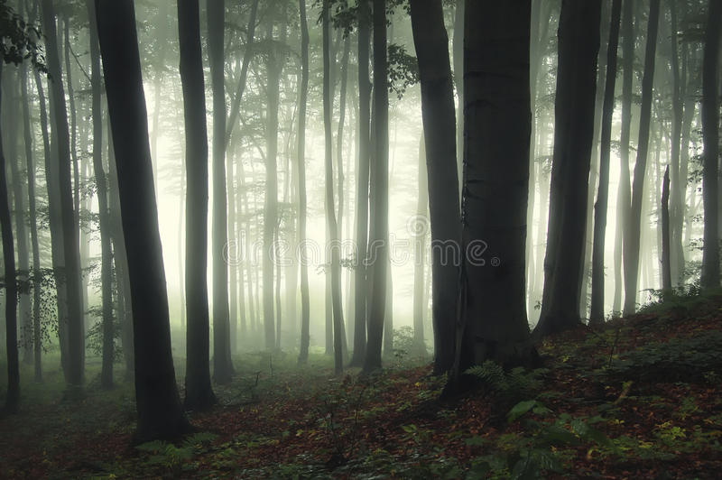 Ethereal δάσος με τα δέντρα γουρνών ομίχλης στοκ φωτογραφία με δικαίωμα ελεύθερης χρήσης