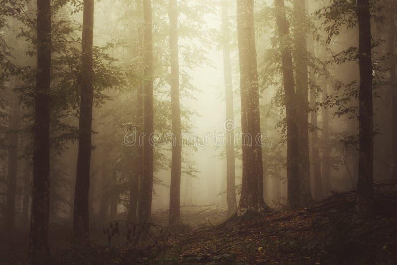 Ethereal δασική σκηνή με την ομίχλη στοκ εικόνες με δικαίωμα ελεύθερης χρήσης