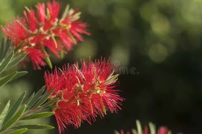 Ethereal κόκκινο λουλούδι στοκ φωτογραφίες με δικαίωμα ελεύθερης χρήσης