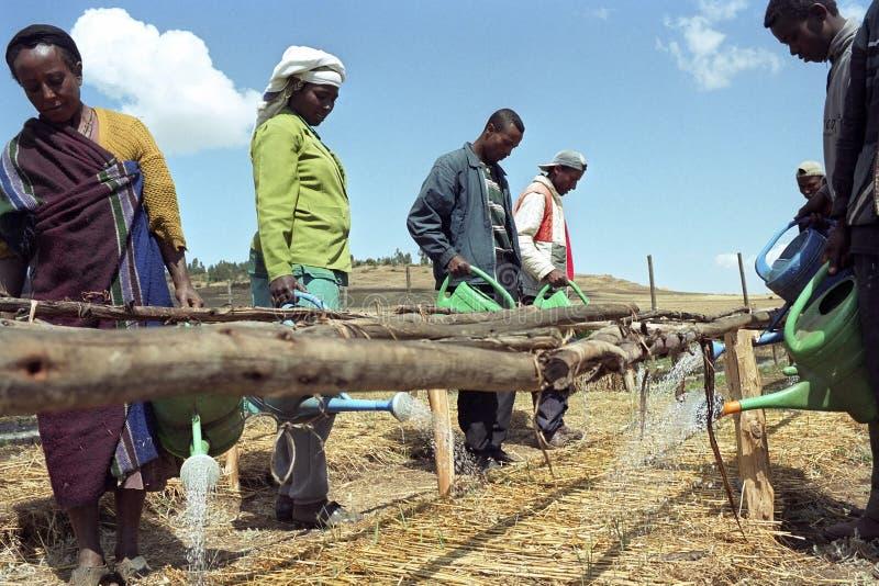 Ethiopiërs die jonge boompjes met gieters water geven stock foto's