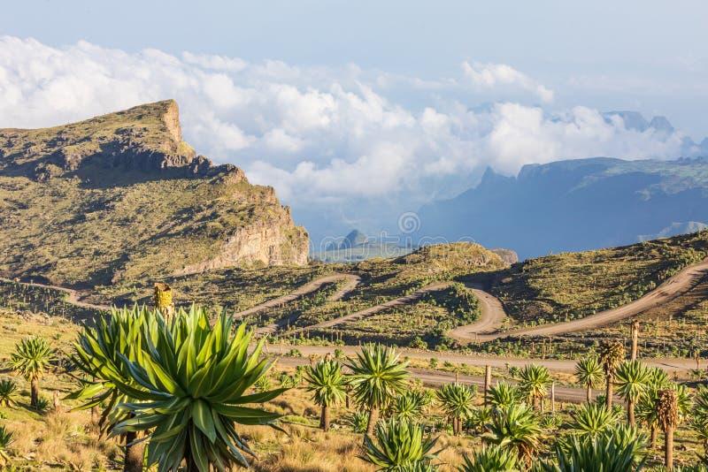 Giant lobelia and winding road in the Ethiopian highlands. Ethiopia. Amhara. North Gondar. Giant lobelia and winding road in the Ethiopian highlands royalty free stock photos