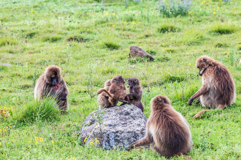 Three baby Gelada baboons play fighting among a group of adults. Ethiopia. North Gondar. Simien Mountains National Park. Three baby Gelada baboons play fighting stock image