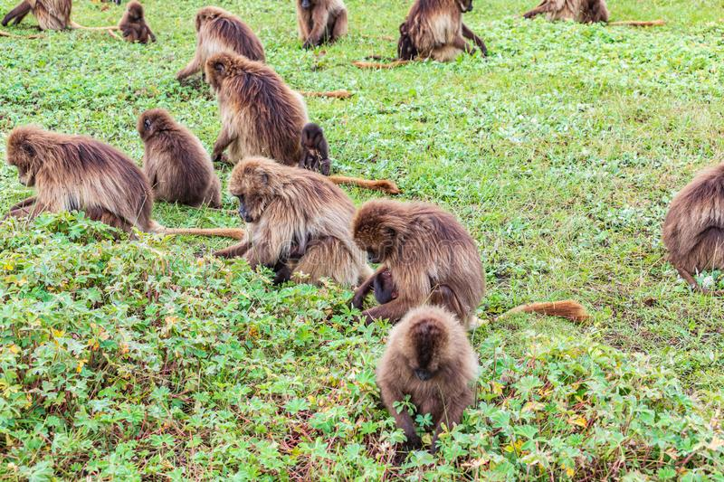 A troop of Gelada baboons feeding. Ethiopia. North Gondar. Simien Mountains National Park. A troop of Gelada baboons feeding stock images