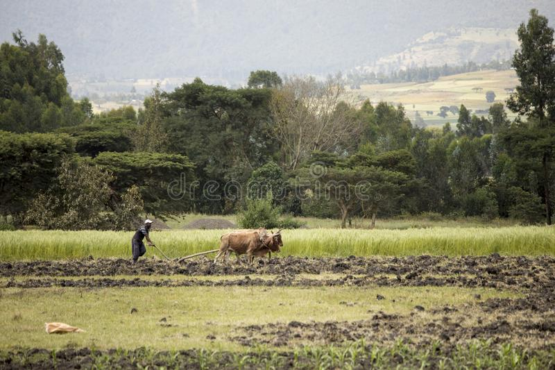 Farmer And Cattle In Ethiopia Editorial Photography - Image