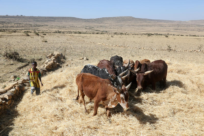 Ethiopian farmer using his cows for threshing harvest royalty free stock image