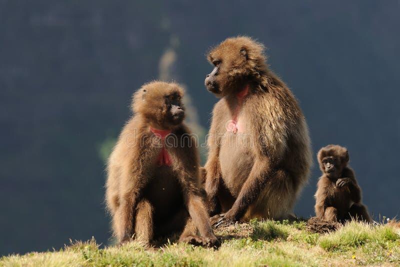 Ethiopian gelada baboons royalty free stock photography
