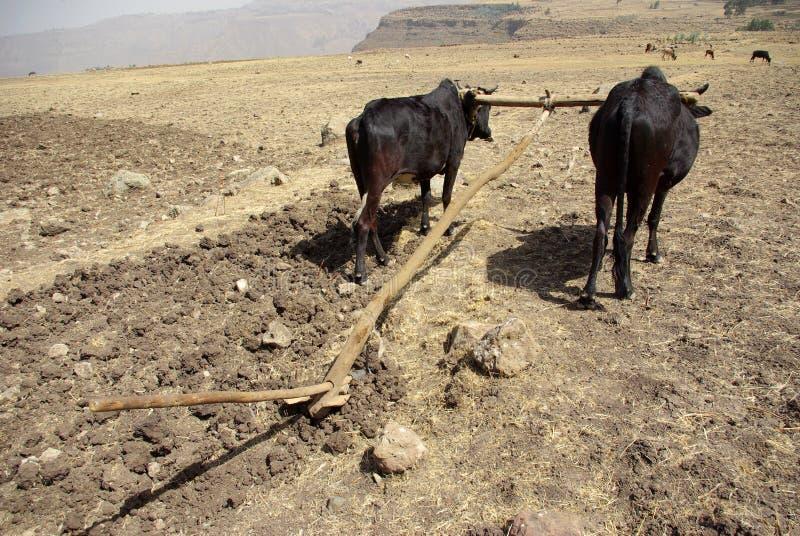 ethiopian jordbruk arkivbilder