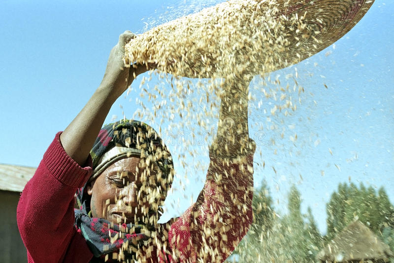 Ethiopian woman separate chaff from the grain. Ethiopia, Sululta district, Chancho Gaba Robi village, Oromo woman, largest Ethiopian ethnic population group, is stock image