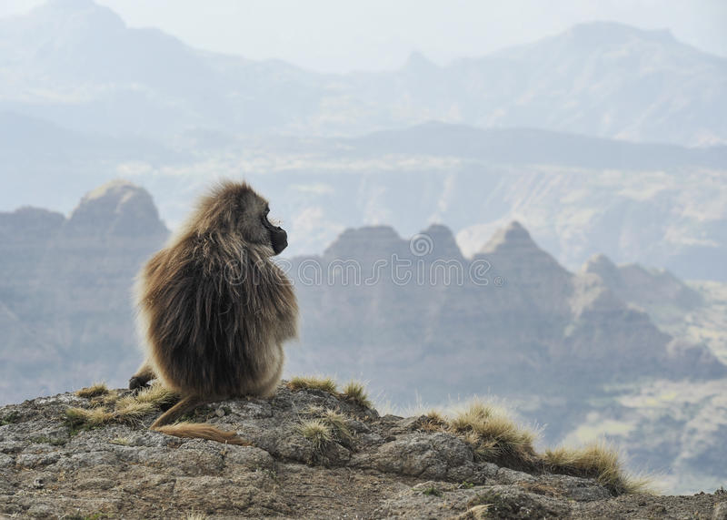 Ethiopische geladas stock afbeeldingen