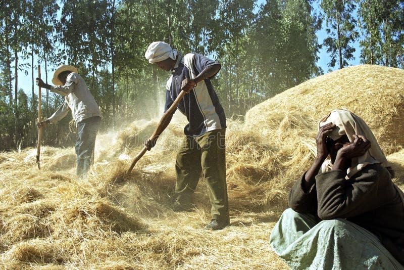 Ethiopische landbouwer en bedienden dorsende korreloogst stock afbeeldingen