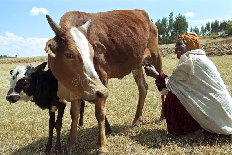 Ethiopische oudere vrouw met koeien in dor landschap stock foto