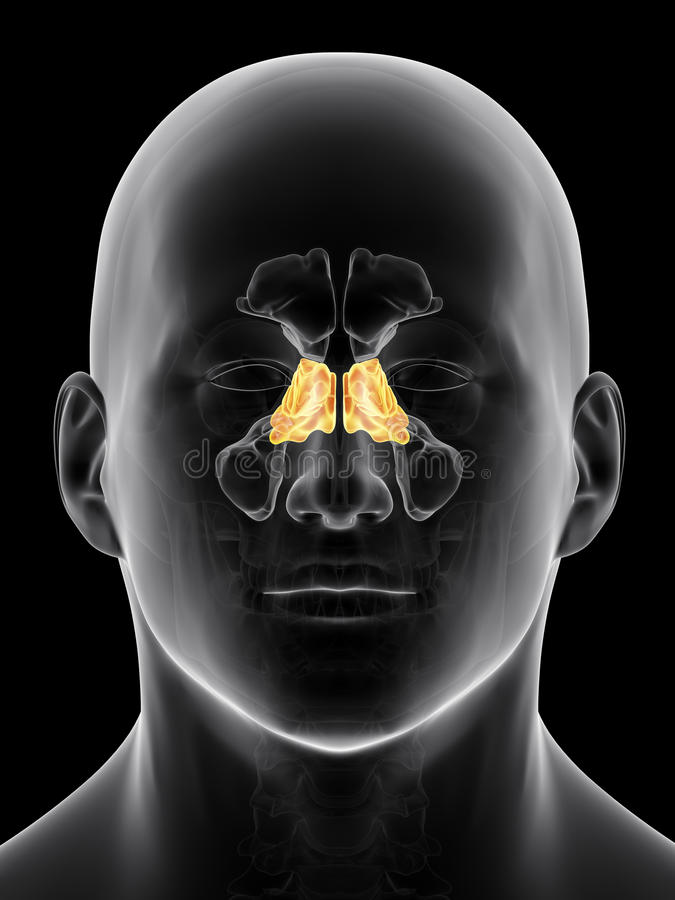 The ethmoid sinus stock illustration. Illustration of accurate ...
