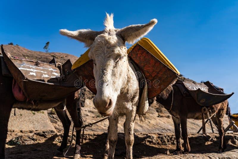 Etiopia, Axum, os?y w ruinach sk?pania kr?lowa Saba fotografia stock