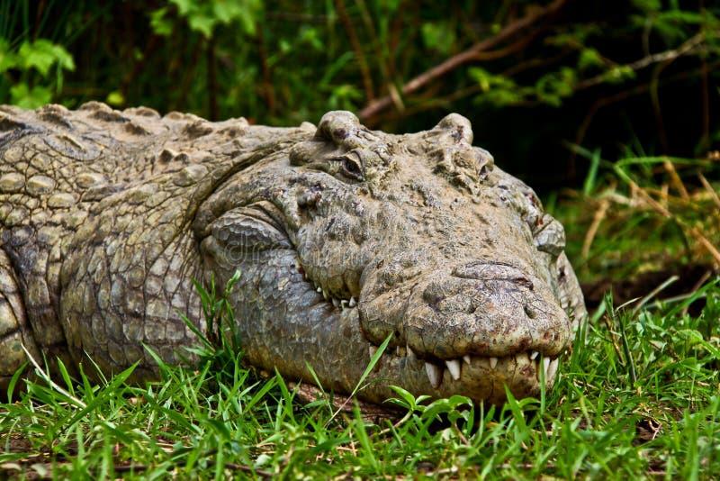 Etiopisk krokodil arkivfoton