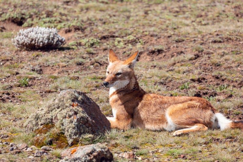 Etiopski wilk, Canis simensis, Etiopia zdjęcia royalty free
