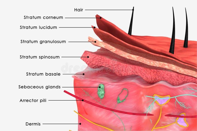 Etiqueta da pele ilustração do vetor