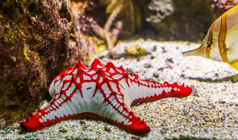 Etoile de mer à bec rouge africaine en closeup, aquarium tropical ornemental animal de compagnie, espèce de Starfish de l'océan i photo stock