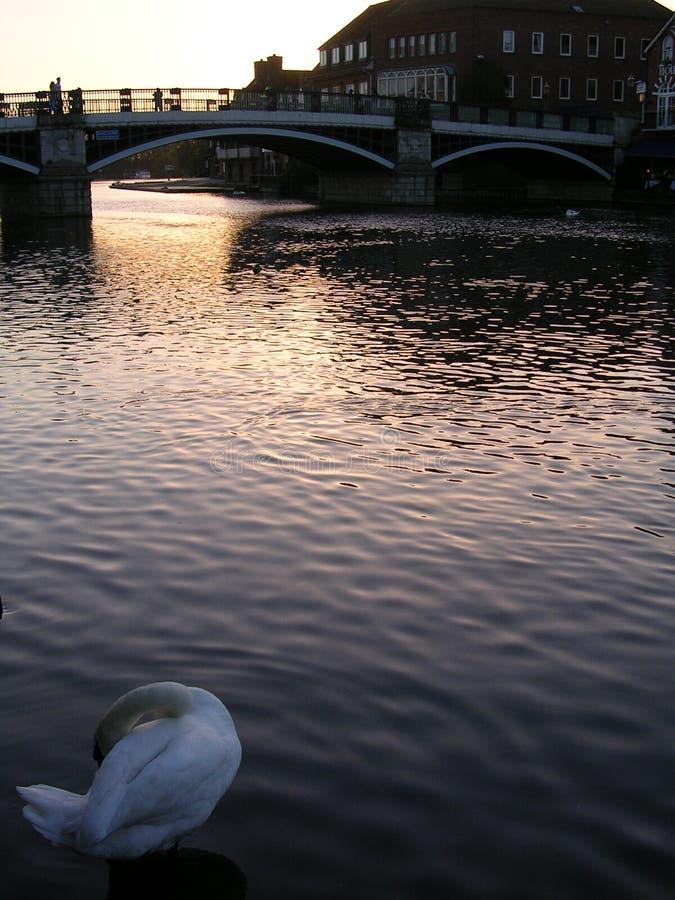 etonflodswan thames arkivfoton