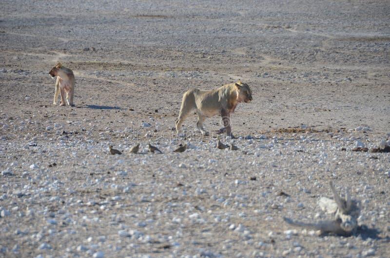 Etosha国家公园,纳米比亚 图库摄影