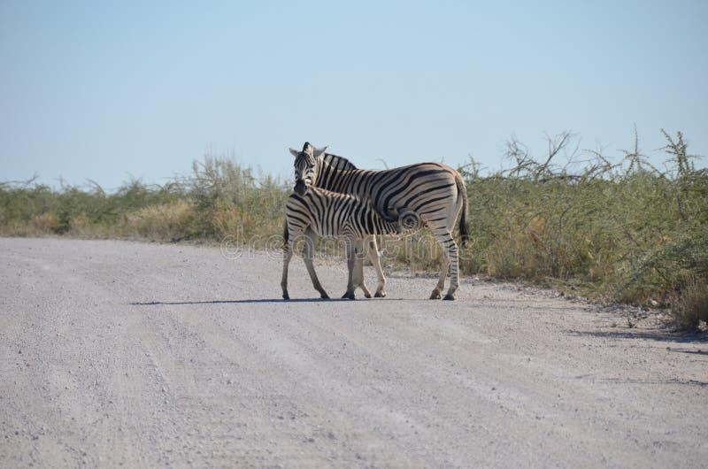 etosha纳米比亚国家公园斑马 免版税库存图片