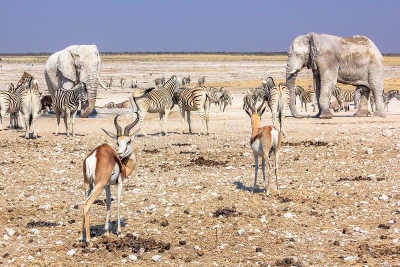 Etosha elephants springboks. Wild animals: zebras elephants springboks gazelles drinking at pool in Namibian savannah of Etosha National Park, dry season in stock photos