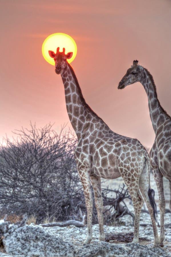 Etosha National Park. Namibia, Africa giraffe at sunset royalty free stock images