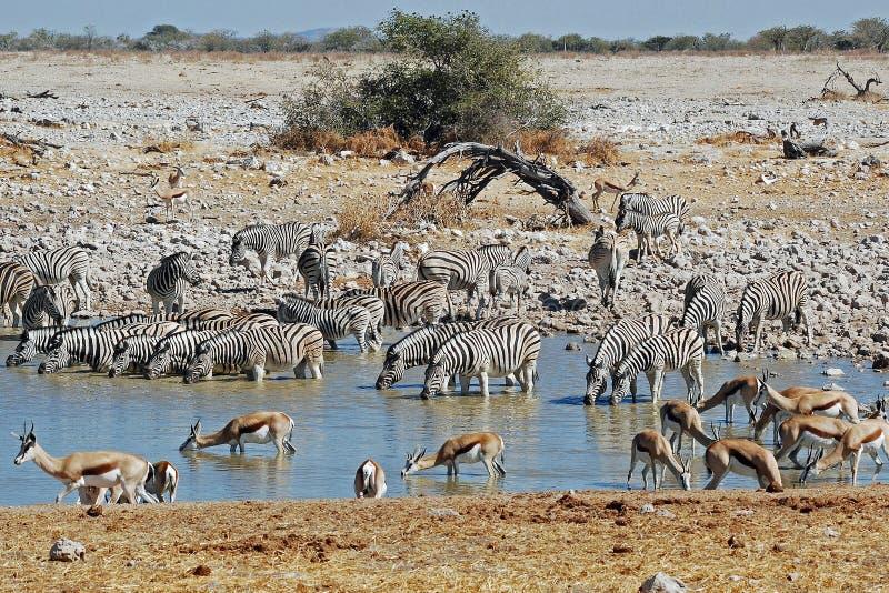 Etosha National Park landscape with pond water. Etosha National Park, Dry landscape with pond water, antelope and zebras, Namibia, Africa stock images