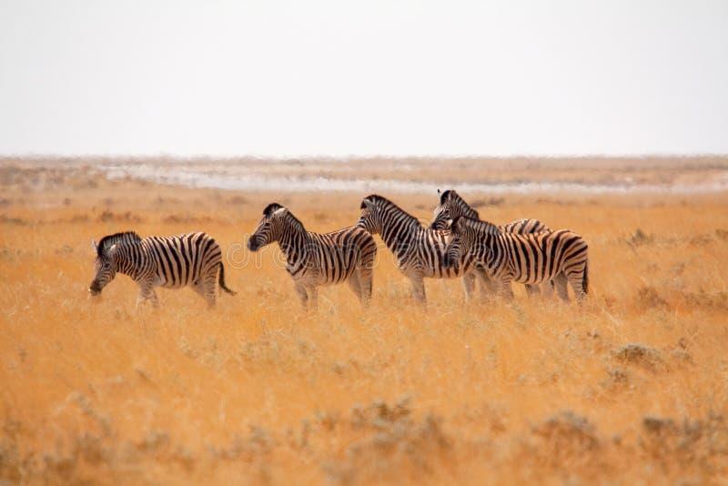 Etosha National Park, Namibia stock photography