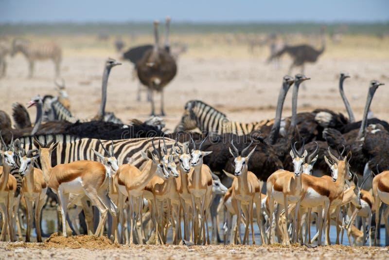 Etosha National Park salt pan royalty free stock photo