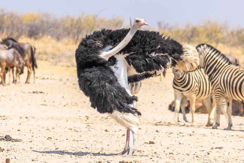 Etosha Ostrich Namibia. Wild ostrich dancing in Namibian savannah of Etosha NP in Namibia, Africa royalty free stock photography