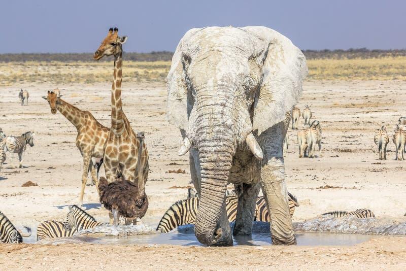 Etosha park narodowy obraz stock