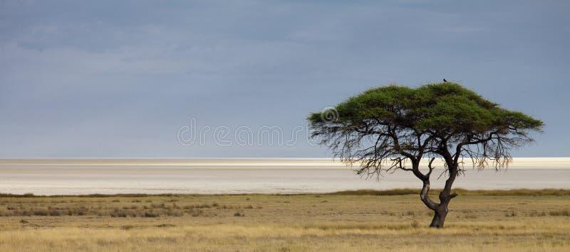 Etosha salt pan. Panorama with acacia tree royalty free stock image