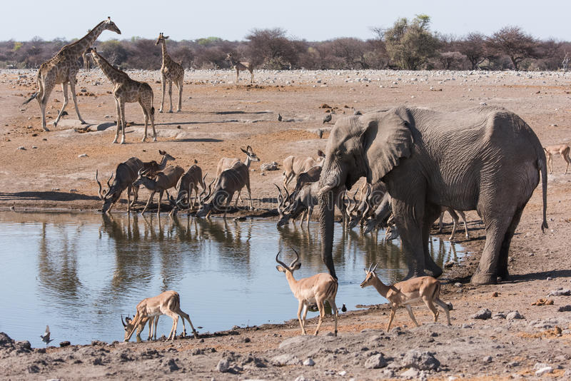 Etosha waterhole gathering royalty free stock images