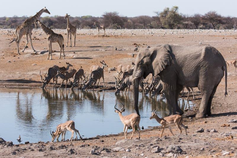 Etosha waterhole gathering. Multiple animals gathered at waterhole. Elephant, Impala, giraffe, kudu. Etosha National Park, Namibia royalty free stock images