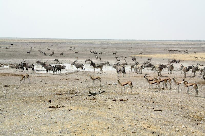Etosha Waterhole Landscape. Springbok, impala, gemsbok or oryx, zebras drinking at a waterhole in the Namibian Park of Etosha stock photo