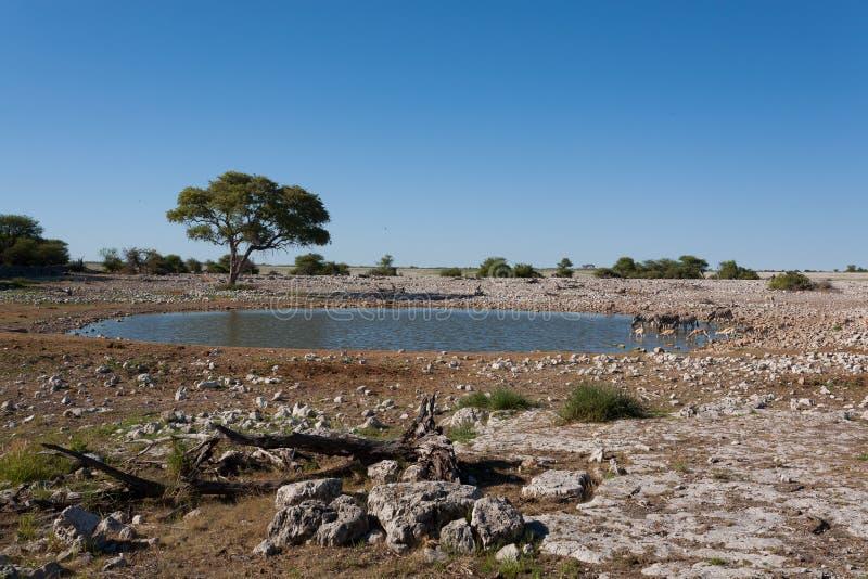 Etosha waterhole. Okaukuejo waterhole from Etosha National Park, Namibia stock photos