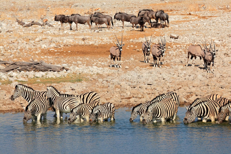 Etosha waterhole royalty free stock photography