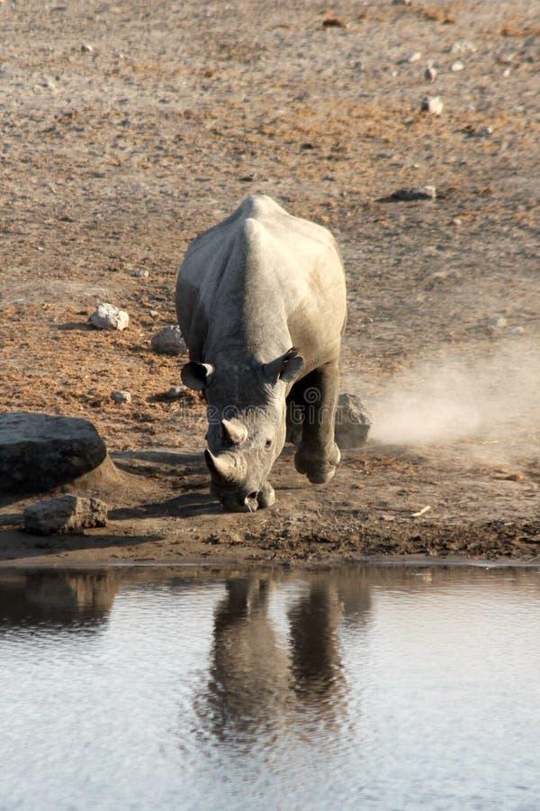 Etosha Waterhole Rhino royalty free stock image