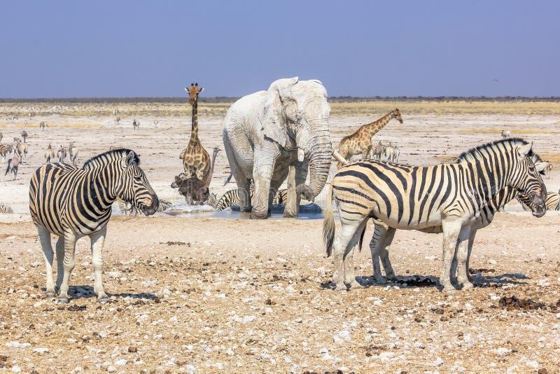 Etosha zebras elephants giraffes. Wild animals: zebras elephants giraffes drinking at pool in Namibian savannah of Etosha National Park, dry season in Namibia royalty free stock photos