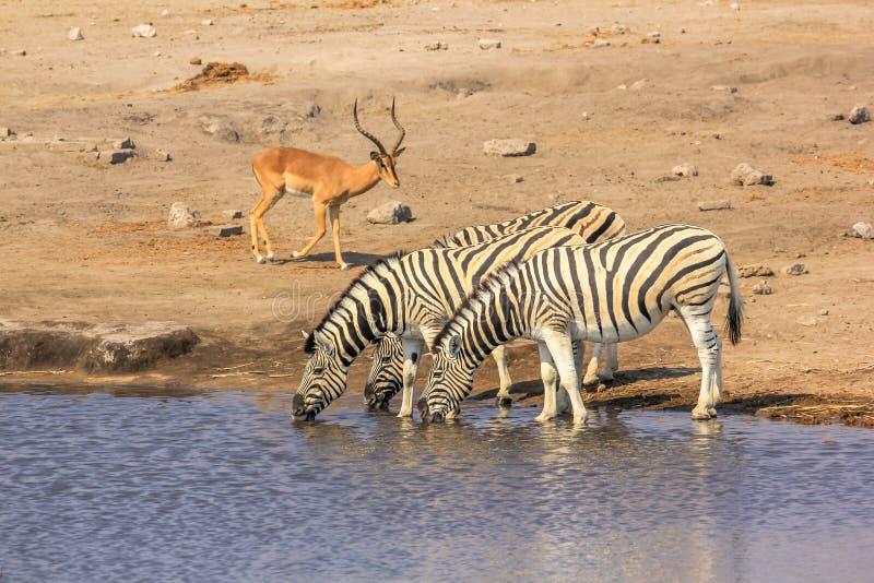 Etosha zebras and impalas. Wildlife: zebras and impalas at pool in Namibian savannah of Etosha National Park, dry season in Namibia, Africa royalty free stock photography