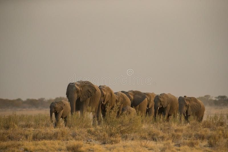 Etoshaolifanten royalty-vrije stock afbeeldingen