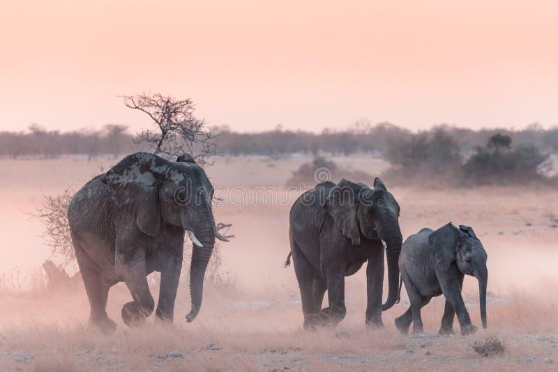 Etoshaolifanten stock fotografie