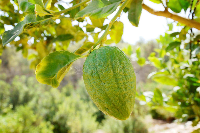 Etrog (citron) on a branch royalty free stock photos