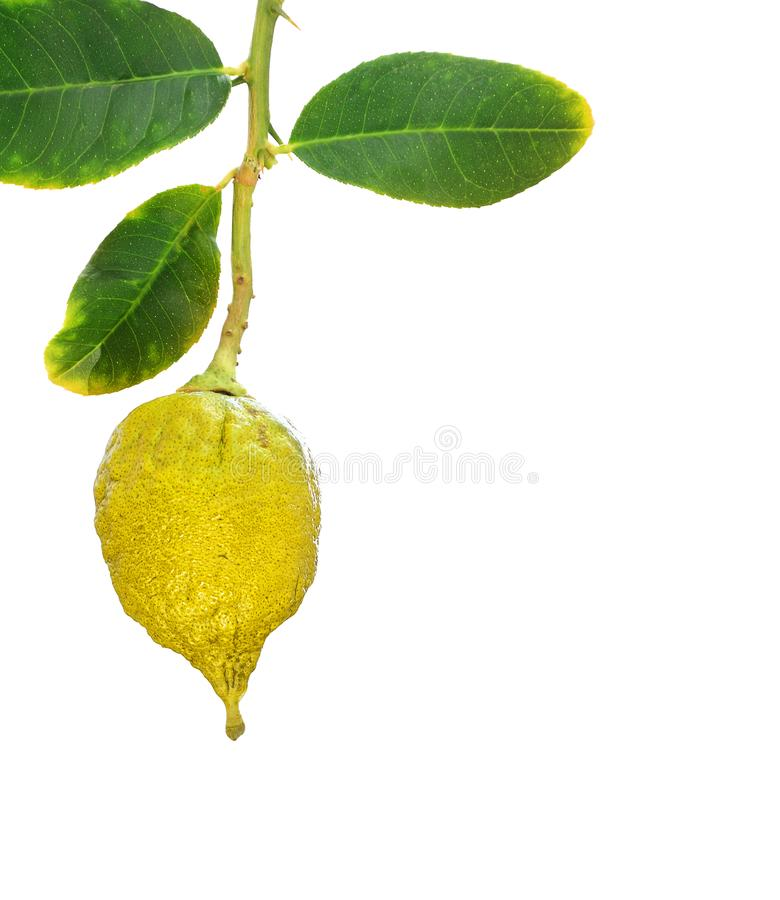 Etrog Citron. Stage of fruit development royalty free stock photo