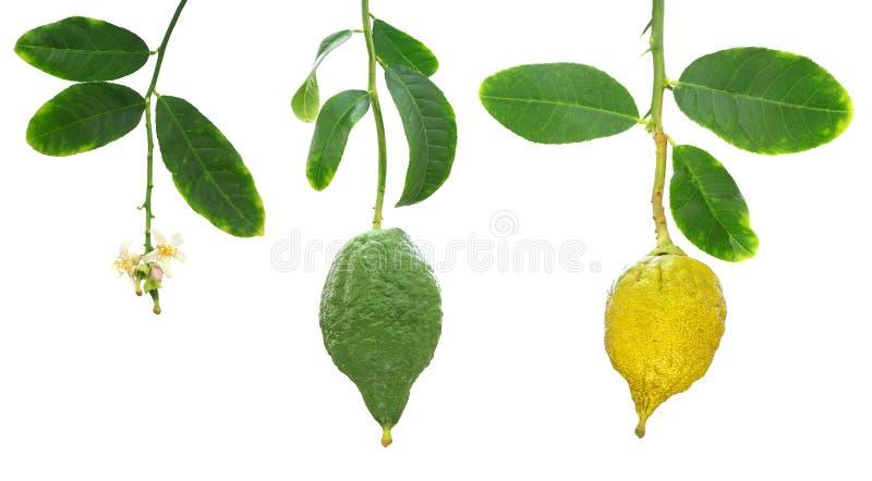 Etrog-Zitrone Stadium der Fruchtentwicklung lizenzfreie stockfotografie