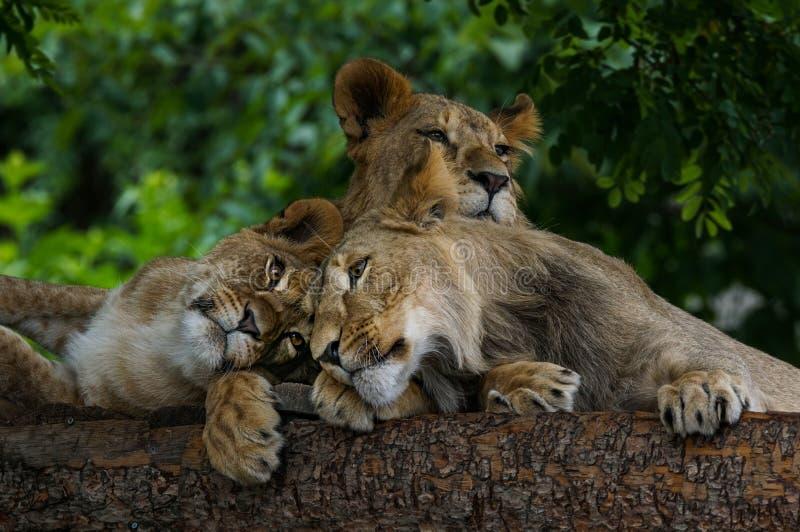 Ett årigt sova för lejongröngölingar royaltyfri fotografi